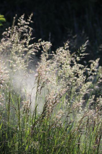 Grasses releasing pollen