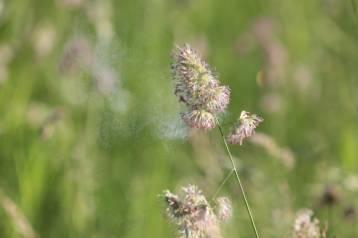 Grass releasing pollen